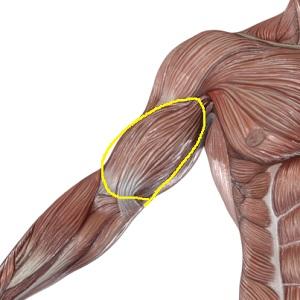 腕の表の筋肉(上腕二頭筋=バイセプス)