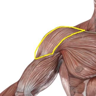 肩の筋肉「三角筋」